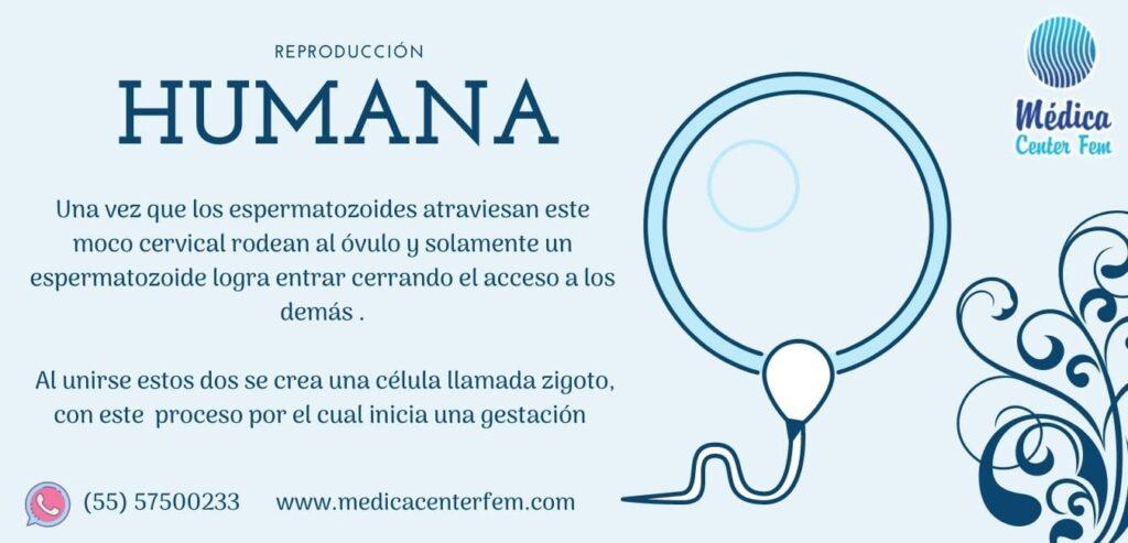 reproduccion-humana-1