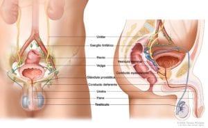 testículos.alt